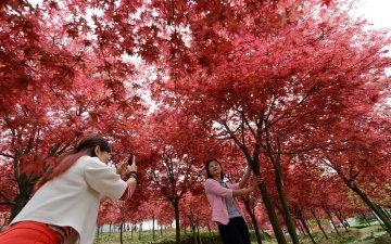重慶:滿山紅葉似彩霞