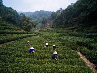 杭州西湖龍井首批春茶開採