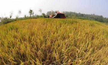 河南超級稻千畝片畝產超900公斤