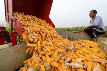 黑龍江玉米臨儲收購價8年來首次降低