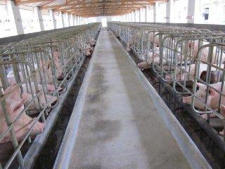 生猪价格明年有望维持高位 饲料与疫苗市场回暖