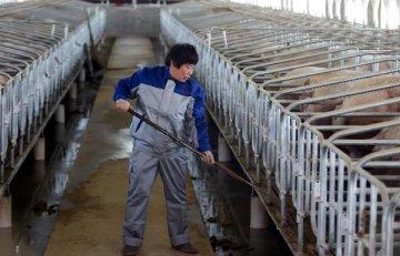 一季度豬價超預期 瘦肉型豬出欄價同比漲逾60%