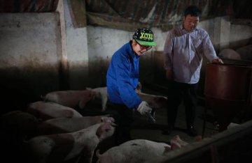 发改委发文促生猪保供稳价 9月后供求关系趋于宽松