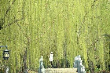 春满大明湖柳色新