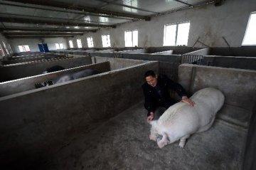 生猪出场价反弹 畜禽养殖板块全线飘红