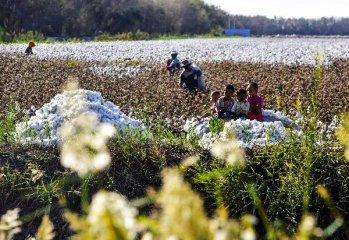 天然橡胶、棉花、玉米期权合约将于1月28日正式挂牌