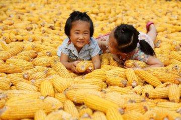 天然橡膠期權、棉花期權和玉米期權三大商品期權掛牌上市