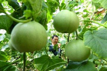 """通訊:""""`金瓜`須供金磚國""""--世界最大甜瓜莊園期待將產品出口到中國"""