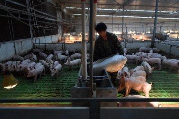 全国生猪存栏自去年11月以来首次回升