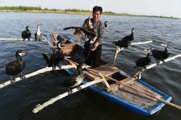 鸕鷀捕魚文化在鄱陽湖畔傳承
