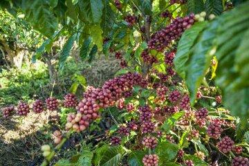 盧旺達駐華大使:想把更多咖啡豆賣到中國